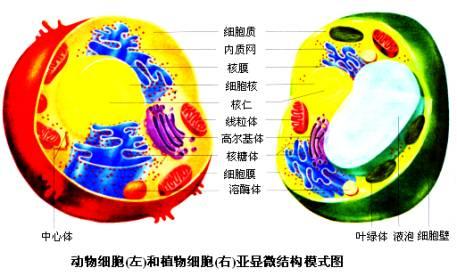 形态:呈颗粒状或短杆状   结构:外膜:使线粒体与周围的细胞质分开