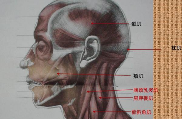 素描头像五官结构分析图图片