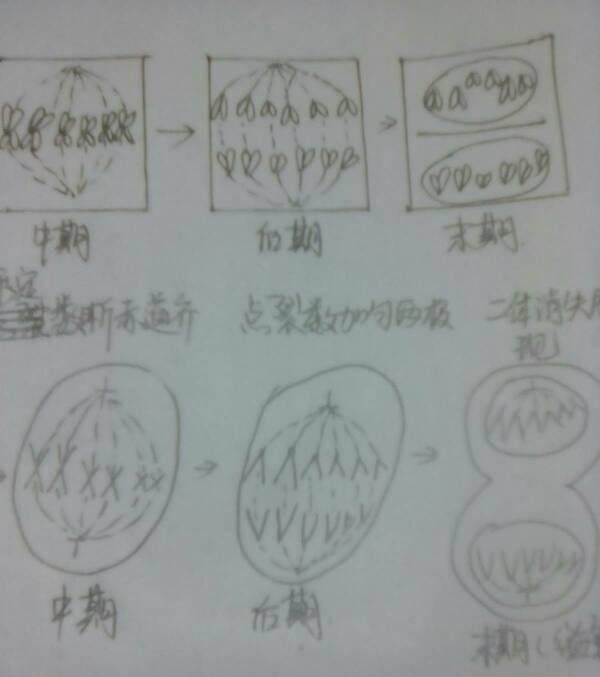 植物细胞有丝分解手画简图