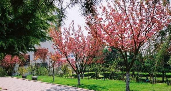 青岛大学 学校樱花